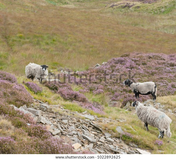 Scottish Blackface Sheep Grazing On Moors Animals Wildlife