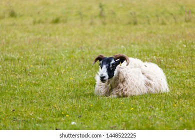 Scottish blackface sheep with impressive horns laying down on the grass, Scotland, summertime