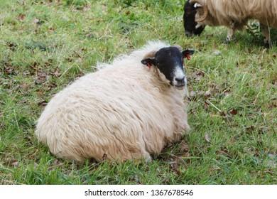 Scottish blackface sheep lying in a field