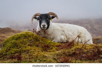 Scottish Blackface Sheep, a pregnant ewe with two curly horns laying down on green moss.  Facing forward.  Horizontal, landscape. Misty Scottish  background. Lochbuie, Isle of Mull, Scotland, UK.