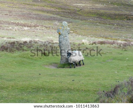 Scottish Blackface Sheep Scratching Against Ancient Stock