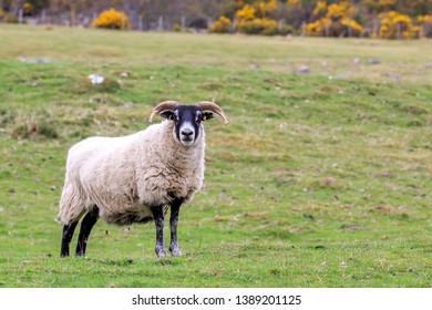 Scottish Blackface sheep standing in a Scottish meadow
