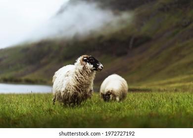 Scottish Blackface sheep at Talisker Bay on the Isle of Skye in Scotland
