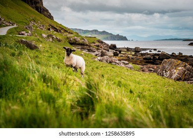 Scottish Blackface sheeps standing in green grasslands surrounded by rough countryside in Scotland, Great Britain