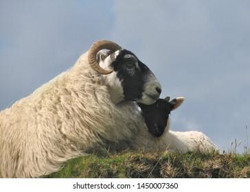 Scottish Black-faced Sheep (adult and juvenile)