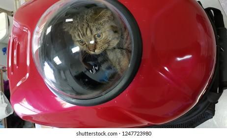 Scottish cat in bag
