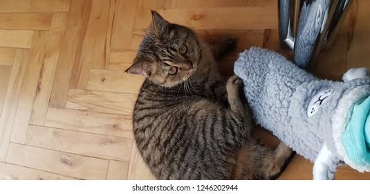 Scottish cat at home