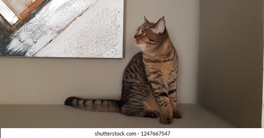 Scottish cat at home in Prague