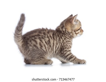 Scottish cat kitten profile side view isolated.