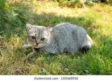 Scottish cat outside on the green grass lawn playing with sunshine lights rays. Cats on the sun on summer spring warm days. Holidays vacation. Lovely cute pets picture. Gray and white cat.