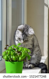 Scottish cat. The plant in the pot is basil.