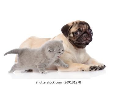 Scottish Cat Lying With Pug Puppy Isolated On White Background Ez