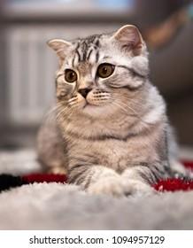 Scottish cat tabby