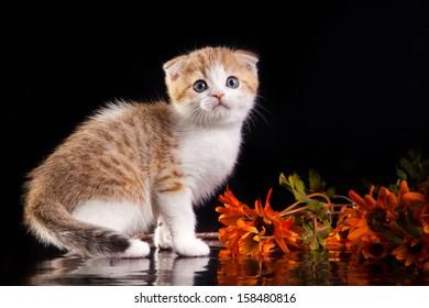 Scottish cat, tabby kitten