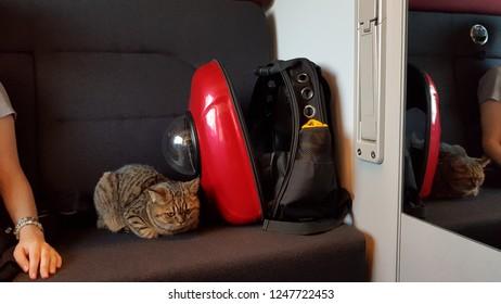 Scottish cat in train