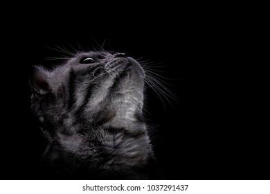 Scottish cat, with yellow eyes