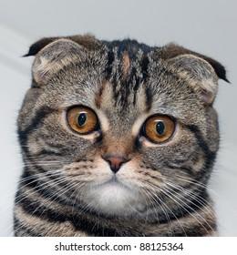 Scottish cat's portrait