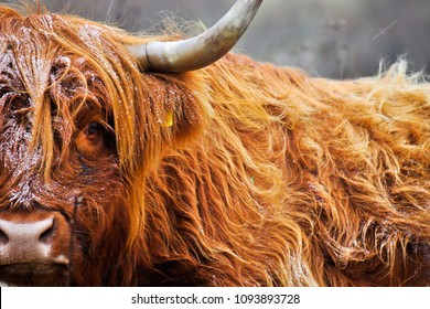 Scottish cattle is extremely resistant against chilling weather. Highland cattle