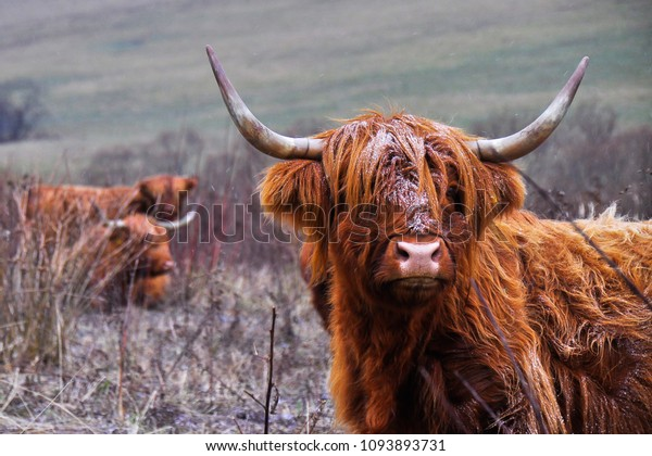 scottish-cattle-extremely-resistant-agai