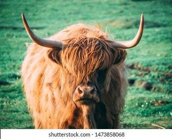 Scottish Cattles in Scottish Highlands Wilderness