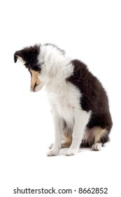 Scottish collie puppy dog isolated on a white background