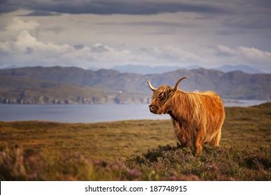 Scottish Cow IV