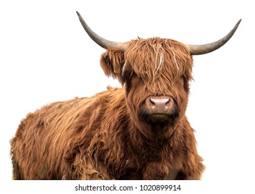 scottish cow on a white background  isolated