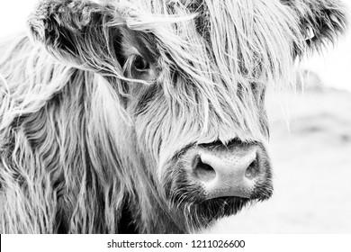 Scottish cow portrait