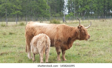 Scottish cows and baby in field.