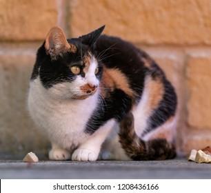 Scottish female cat sitting on patio watching the surroundings.