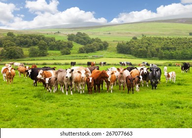 Scottish field and cows