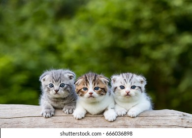 scottish fold, beautiful kitten on timber over blur green forest background,eyes looking for something.