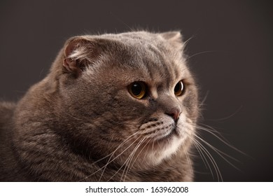 Scottish Fold breed of cat in grey background