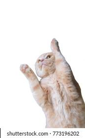 Scottish Fold cat, 9 and a half months old, standing up and pawing in front of white background