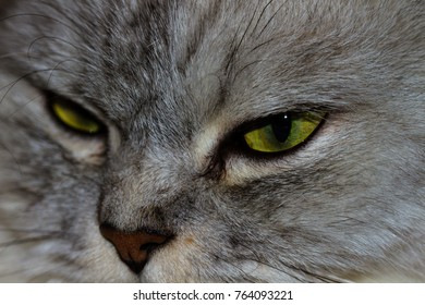 Scottish Fold cat with bad mood expression on his face