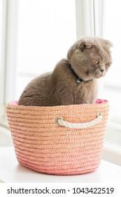 scottish fold cat in a basket