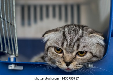 Scottish fold cat breed in the cage at the veterinary clinic after surgery, recovering from anesthesia. Anesthesia in Brachycephalic cats
