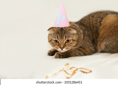 Scottish Fold cat, brown tabby. First birthday of the cat. A kitten in a festive cap.