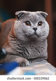 Scottish Fold cat closeup looking at camera