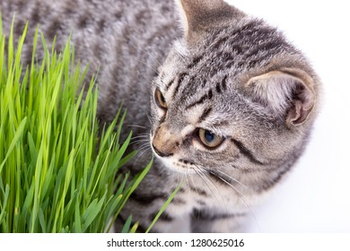 Scottish Fold cat eating fresh green grass growing by oats seed, natural herbal treatment for the health of pet isolated on white background.