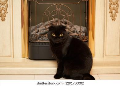 Scottish fold cat at fireside