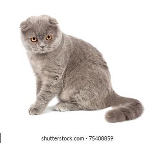 Scottish fold cat grey on white background