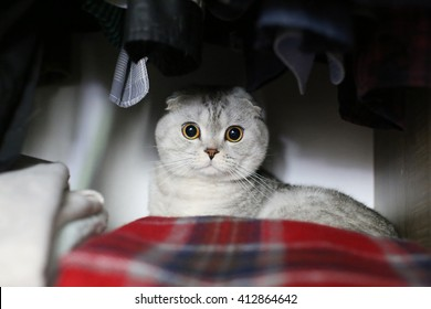 Scottish Fold cat is hiding in the closet. Selective focus
