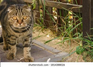 Scottish Fold cat. Scottish Fold Highland Fold kitten gray fluffy cat on the sidewalk in the company in the house.