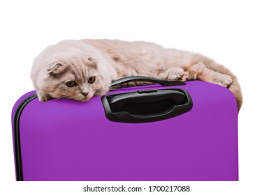 Scottish fold cat lies on a purple suitcase on the white background