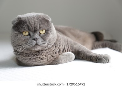 Scottish Fold cat lying down on a mattress. The Scottish Fold is a breed of domestic cat with the ears folded forward.