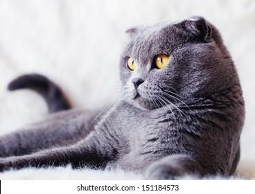Scottish Fold cat lying on white fur