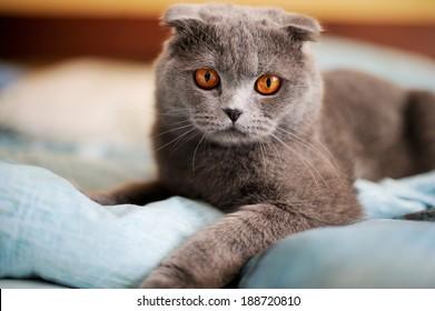 Scottish Fold Cat lying on sofa in room