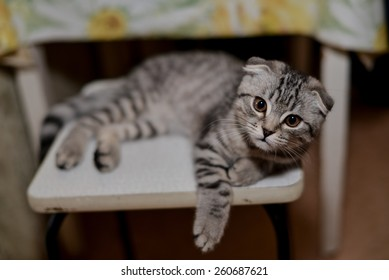 Scottish fold cat is lying on the stool and looks attentive, intelligent expression