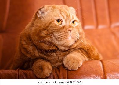 A scottish fold cat lying on leather sofa